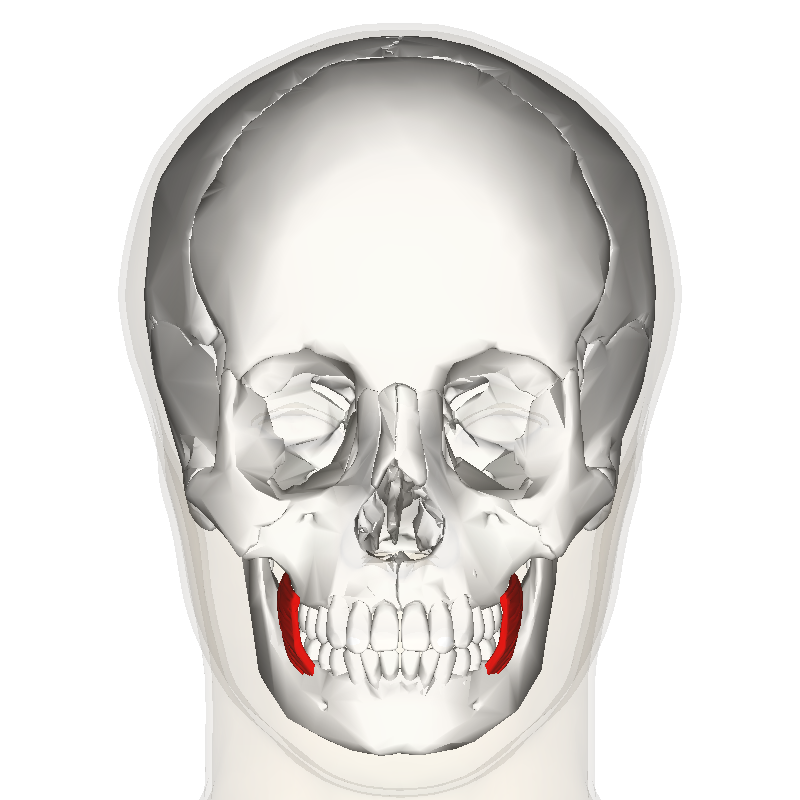 File:Buccinator muscle frontal.png - Wikimedia Commons