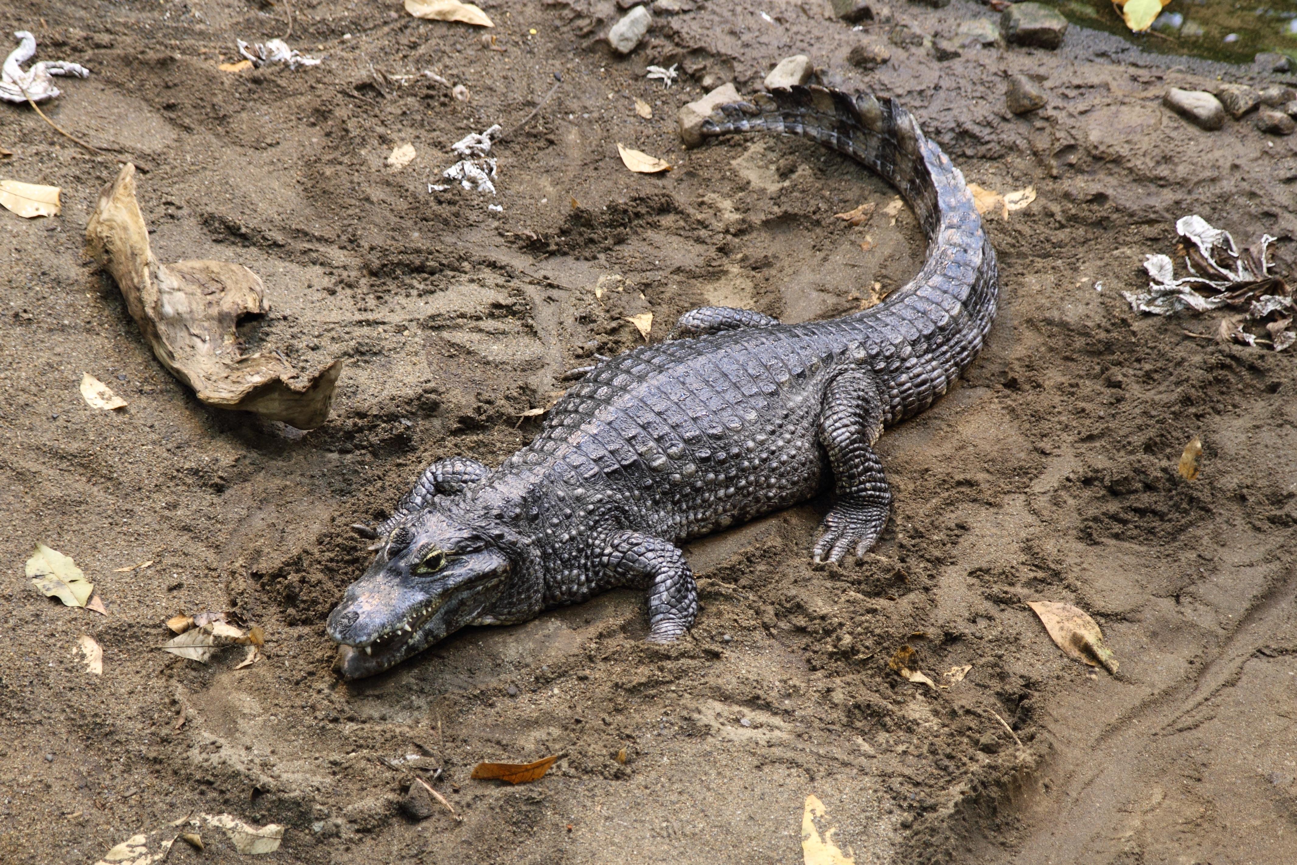 File:Caiman_yacare_BM on Rain Forest Ecosystem