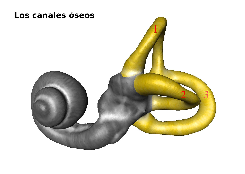 Estructuras del oído involucradas con la prueba de equilibrio