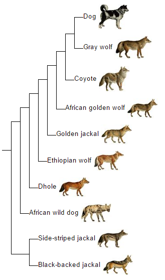 souborcanis phylogeny engpng � wikipedie
