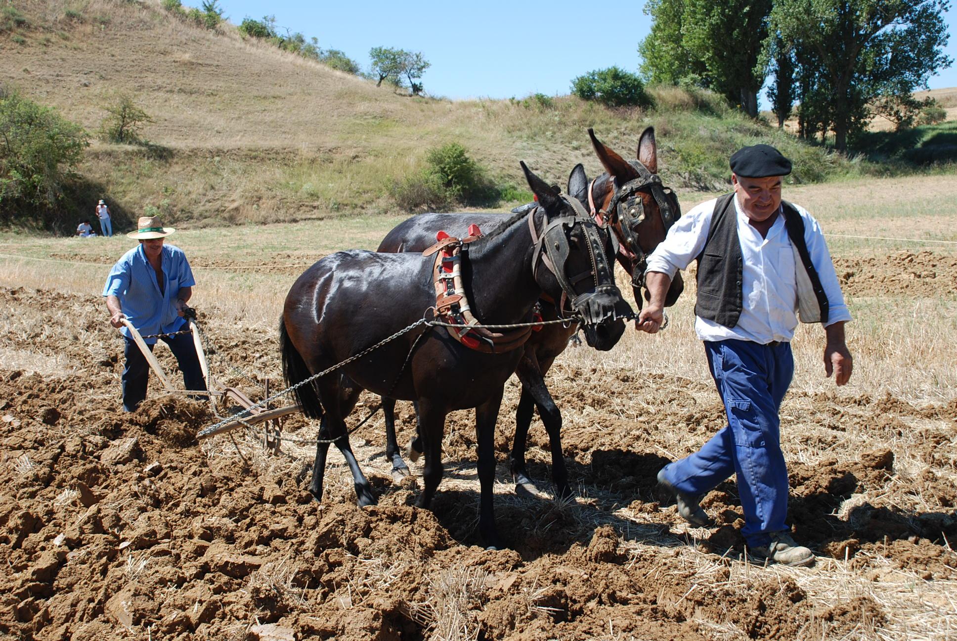 Descripción Castrillo de Villavega Festival of La Trilla Plowing 001