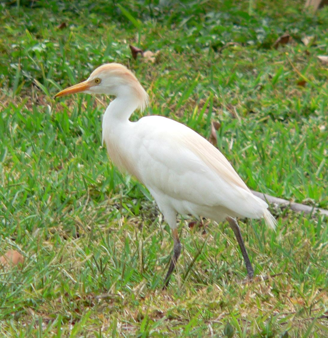 Cattle Egret (Bubulcus ibis) Crop.jpg