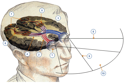 Cerebro sistema.png
