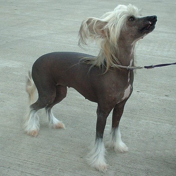 chinese crested dog toy dog