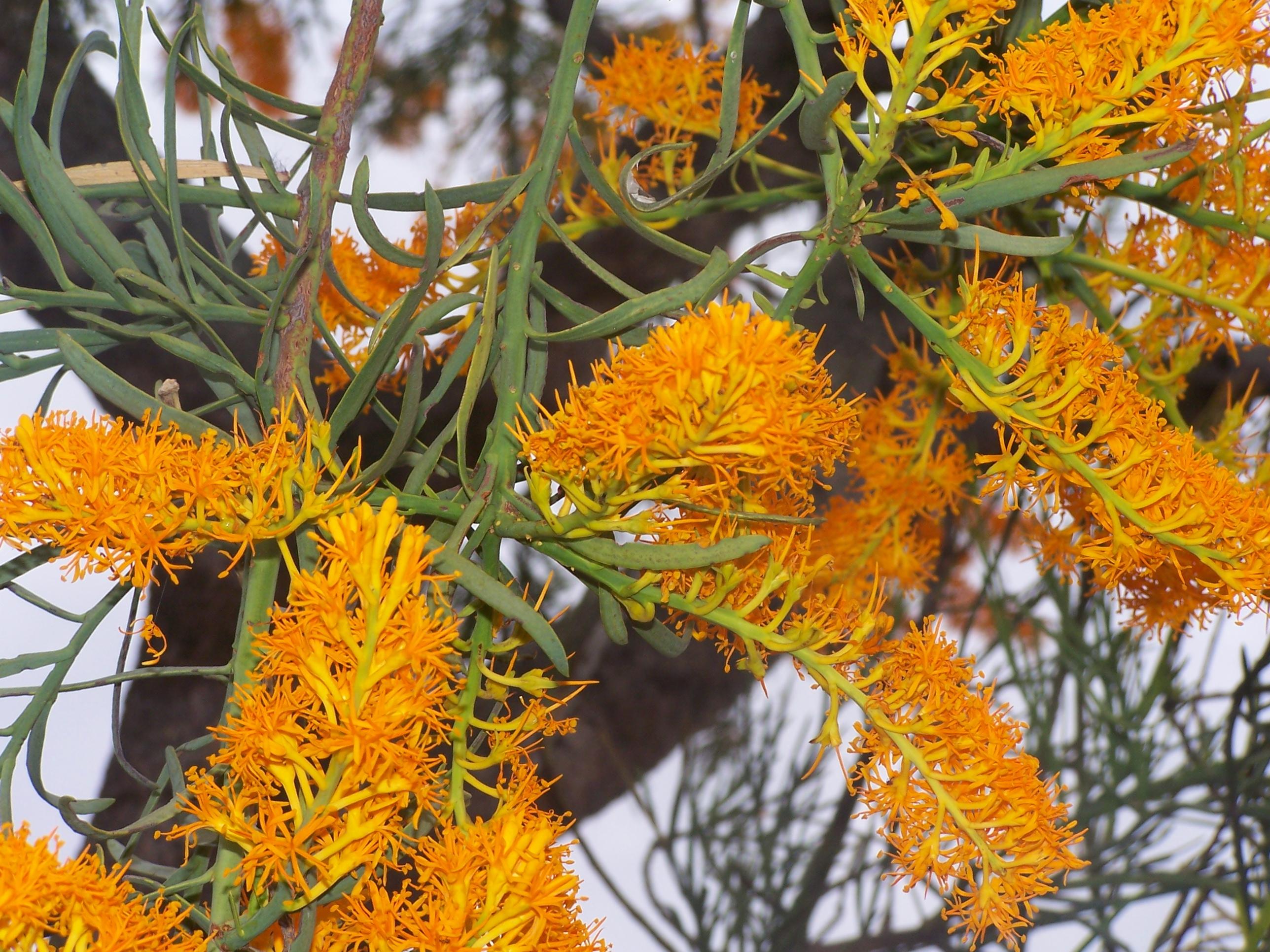 Christmas Bush Tree Australia.Nuytsia Wikipedia