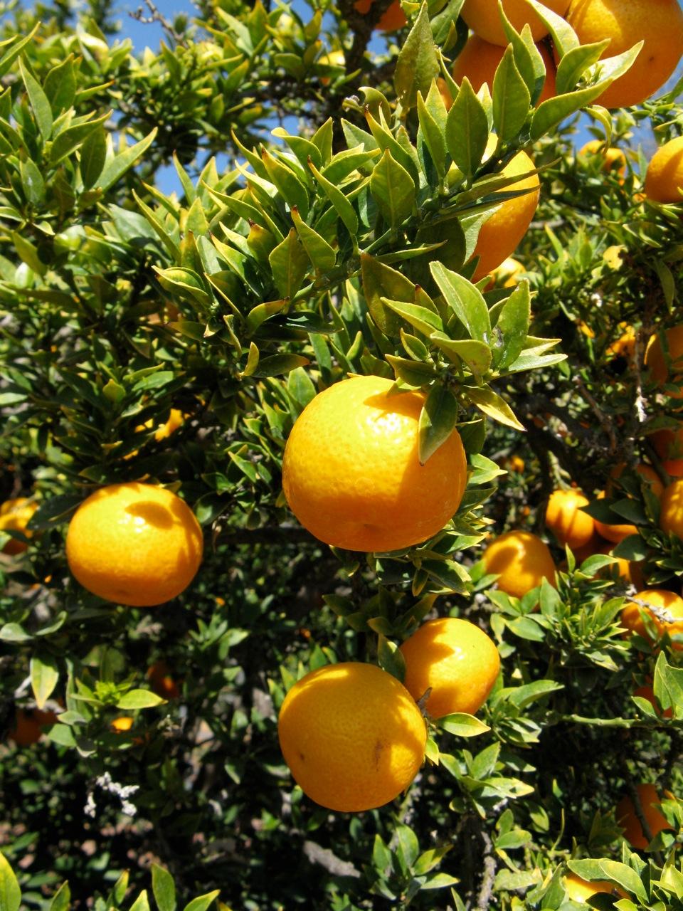 File citrus myrtifolia wikimedia commons for Citrus myrtifolia