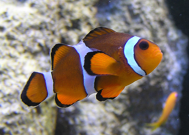 File wikimedia commons for Clown fish habitat