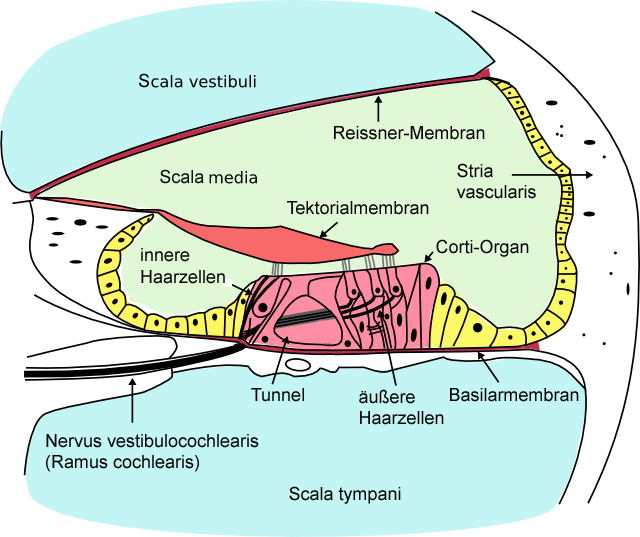 file cochlea crosssection png wikimedia commons : cochlea diagram cross section - findchart.co
