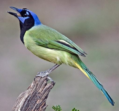 Green Jay Wikipedia