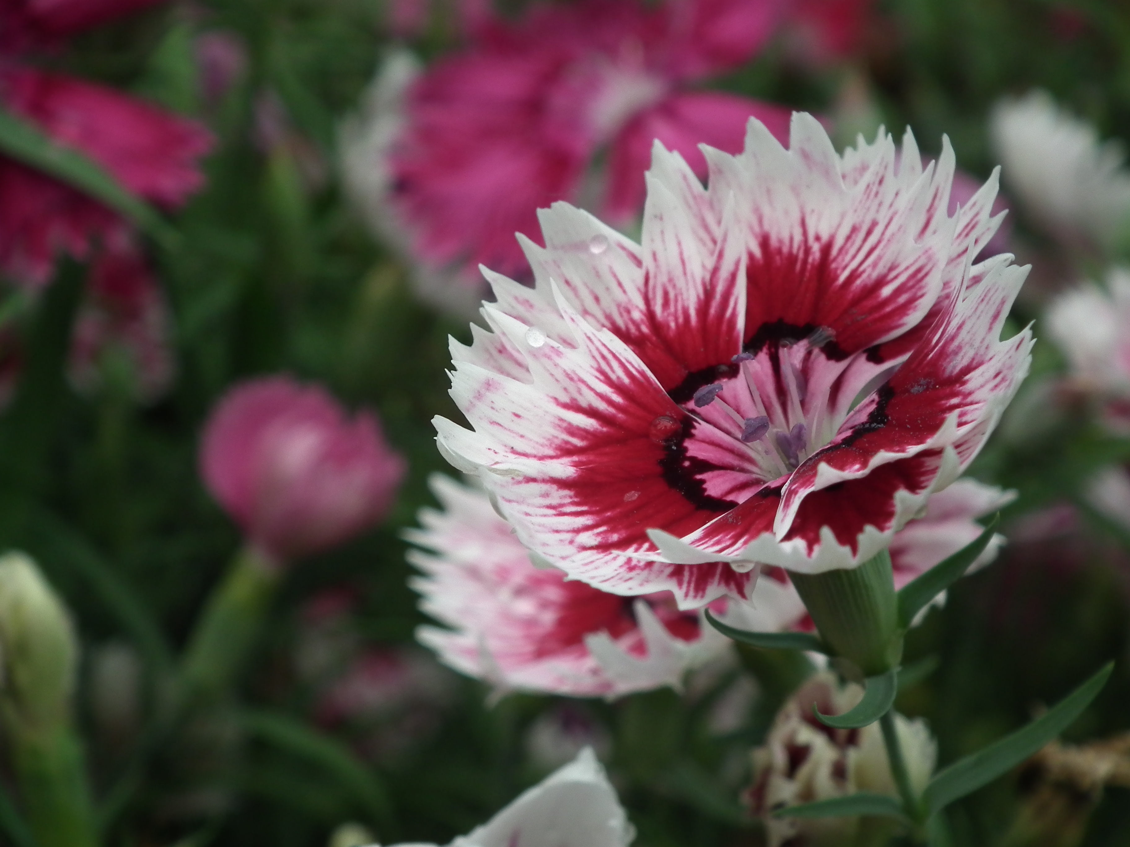 File Dianthus barbatus or Sweet William from Lalbagh Flowershow August 2012