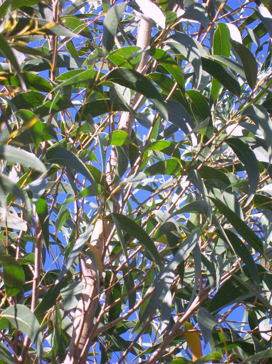 Eucalyptus Dendromorpha Wikipedia