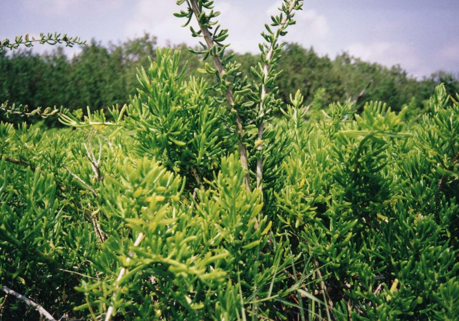 File:Everglades salt marsh plant.jpg