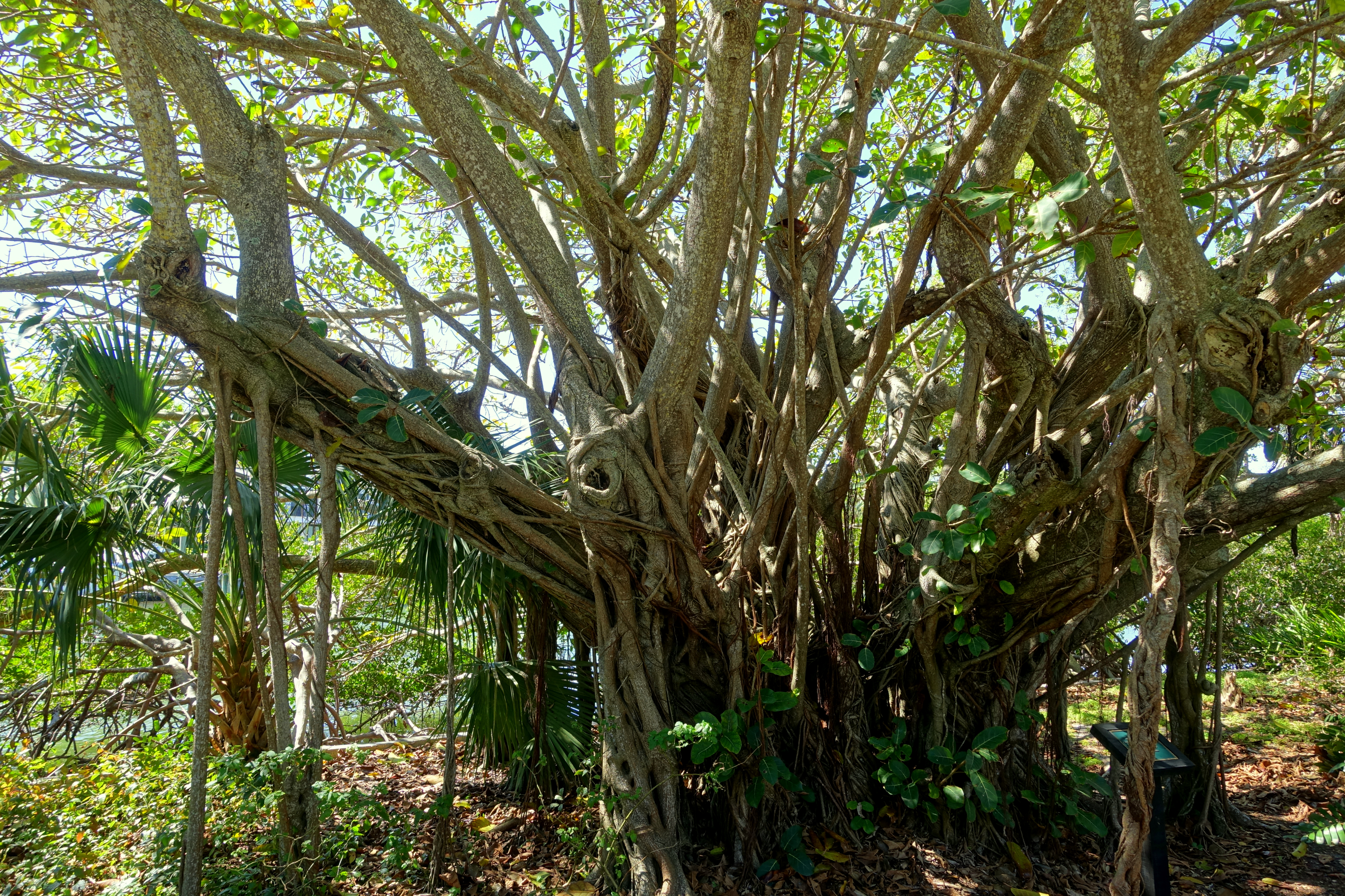 File:Ficus lutea, state champion tree - Marie Selby Botanical ...