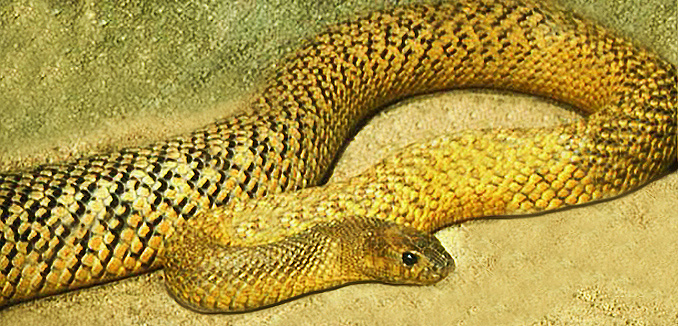 Taipan do snakes die after drinking milk