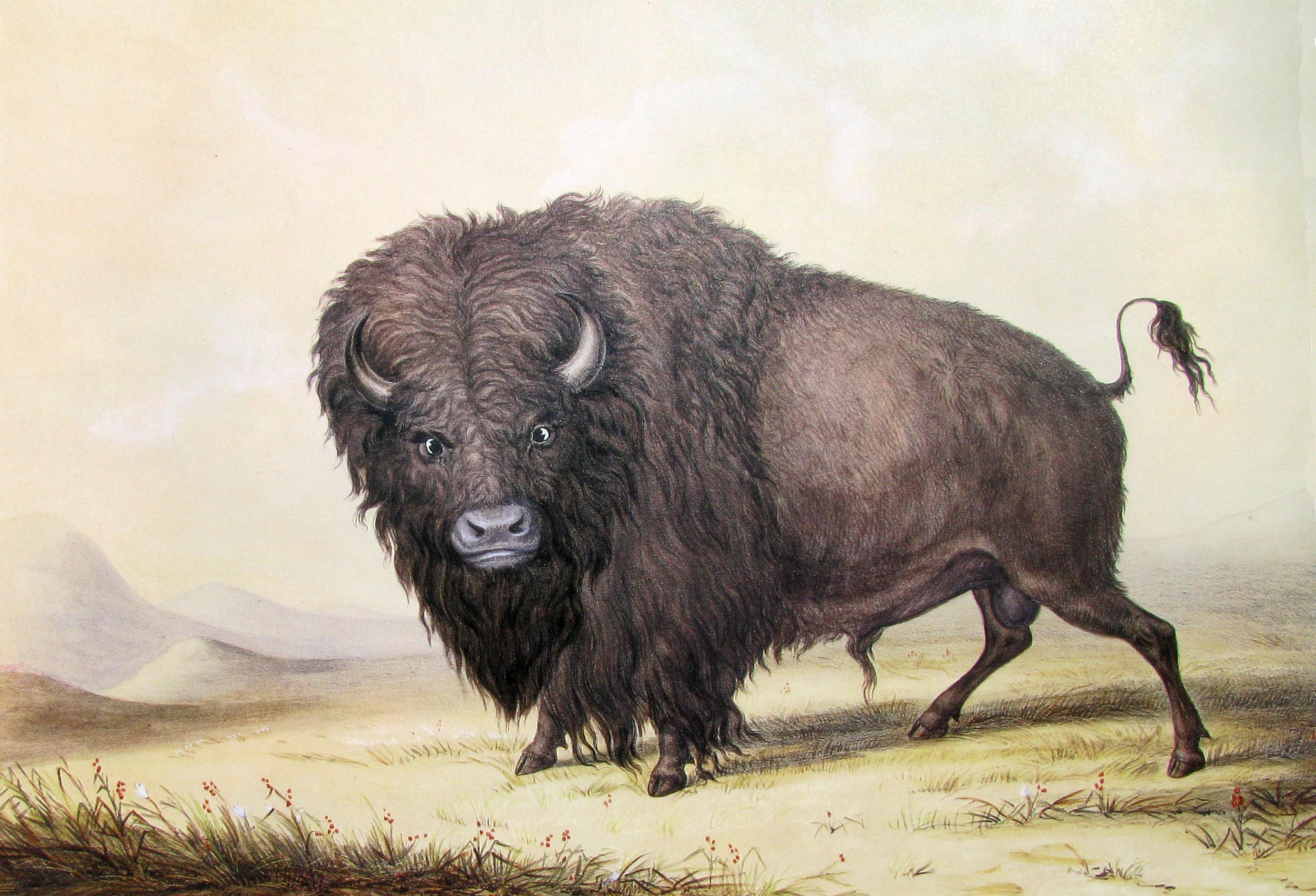 George_Catlin_Bull_Buffalo.JPG