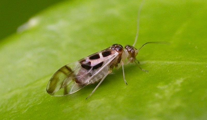 Ficheiro:Graphopsocus cruciatus 02.jpg