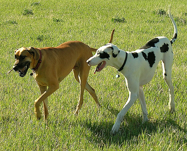 Great_Danes_harlequin_and_fawn.jpg ‎ (640 × 518 Pixel, Dateigröße ...