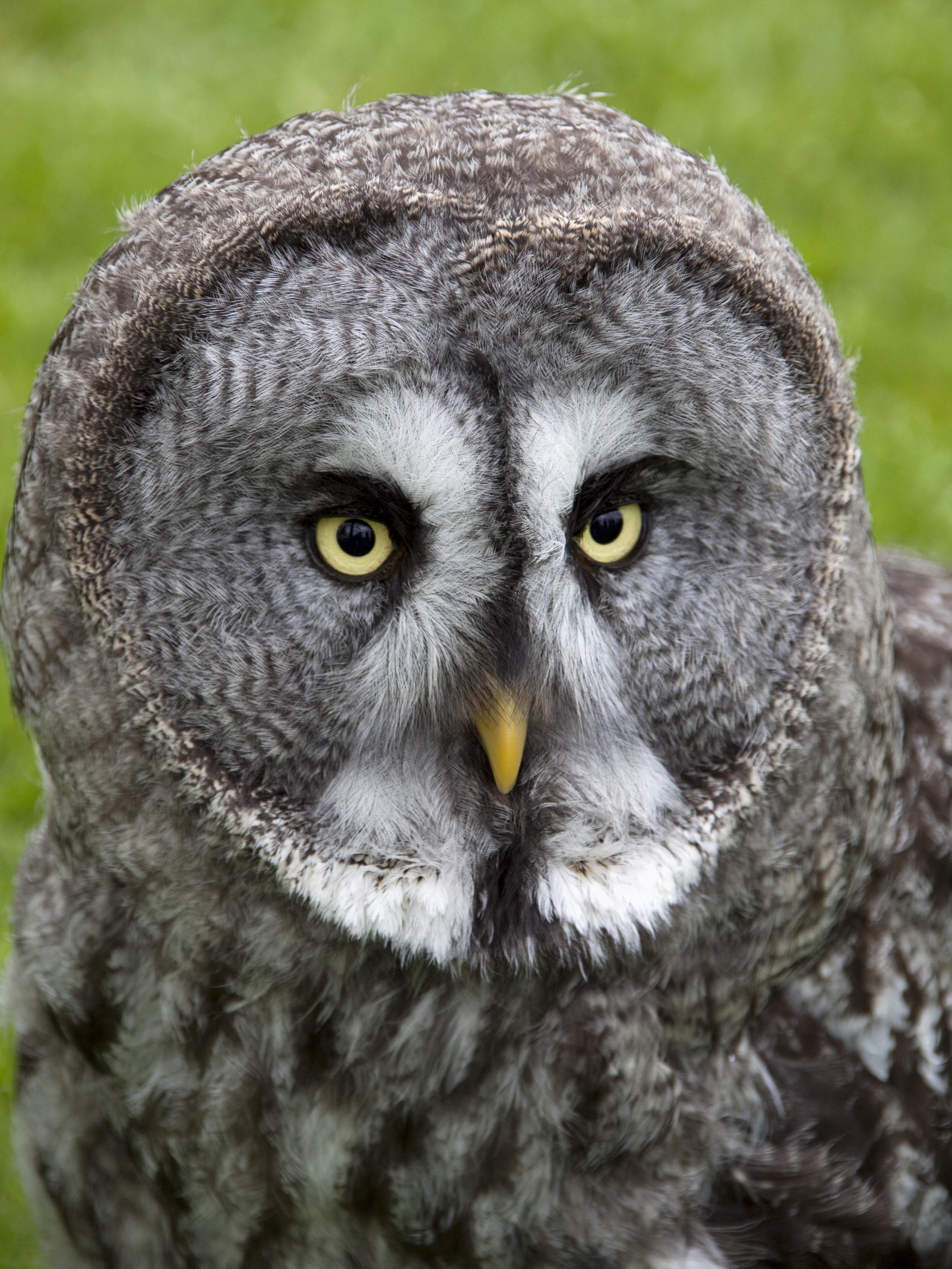File:Great Grey Owl 2 (4570453977).jpg - Wikimedia Commons