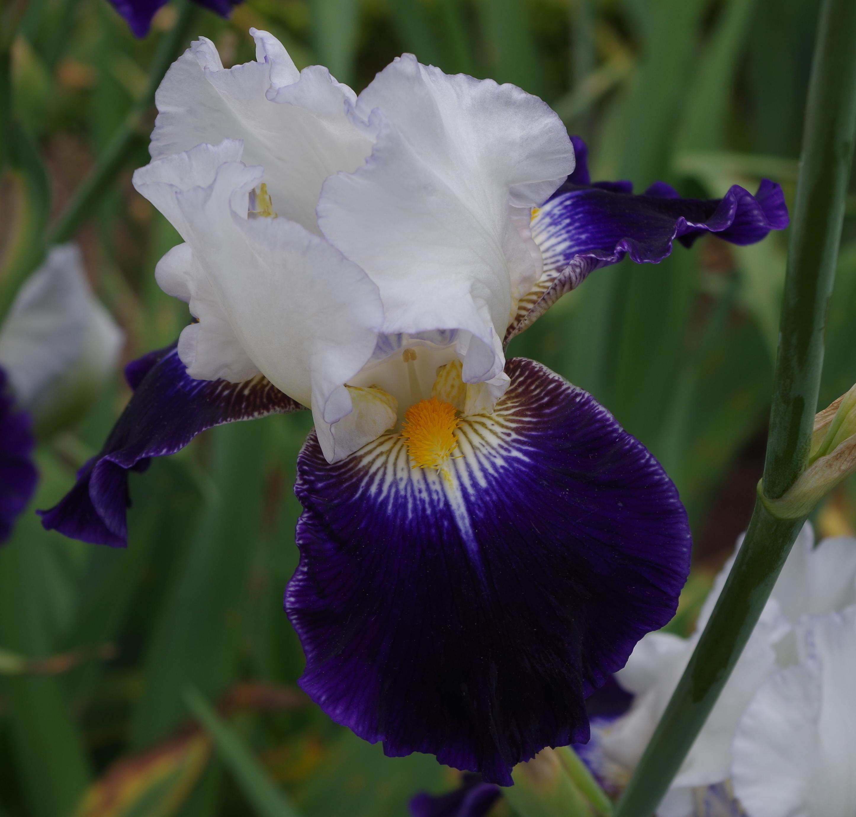 File Iris flowers Jardins de Bagatelle 38 JPG Wikimedia mons