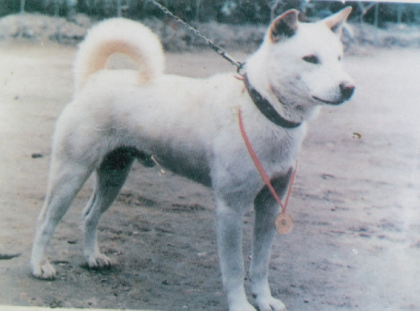 Jindo Dog For Sale Philippines