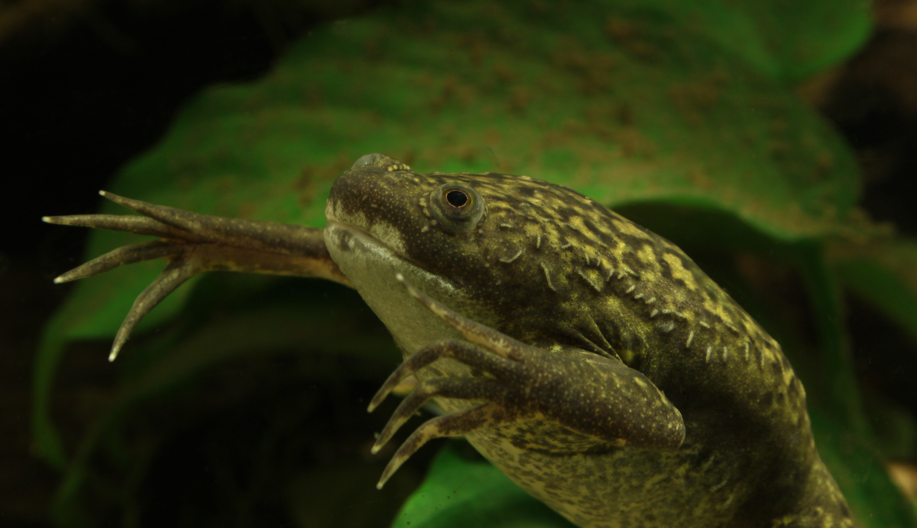 Xenopus Laevis The African Clawed fro...