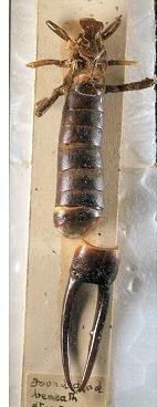 Labidura herculeana.jpg