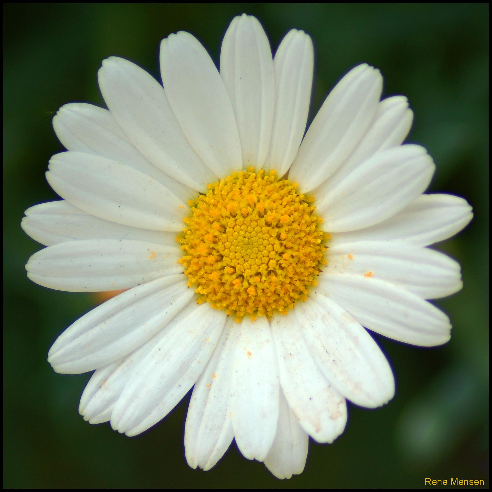 Daisy Net Worth
