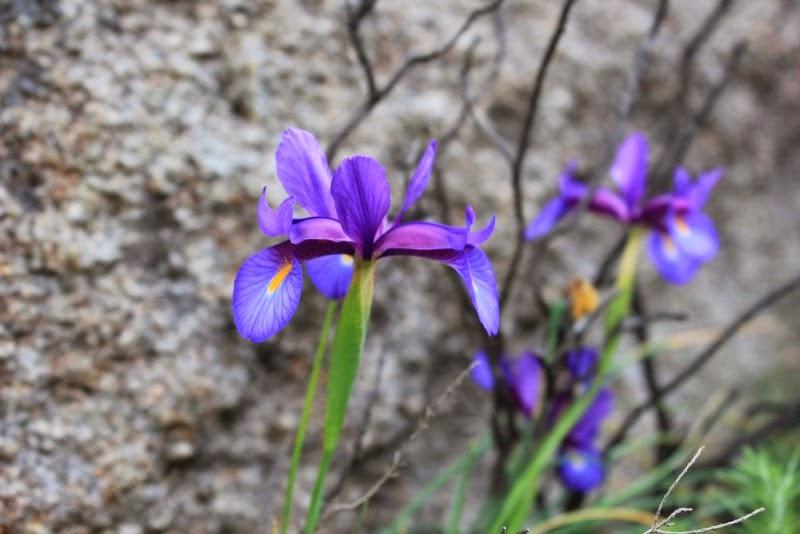 Lirio de monte, Iris boissieri, monte Pindo.jpg