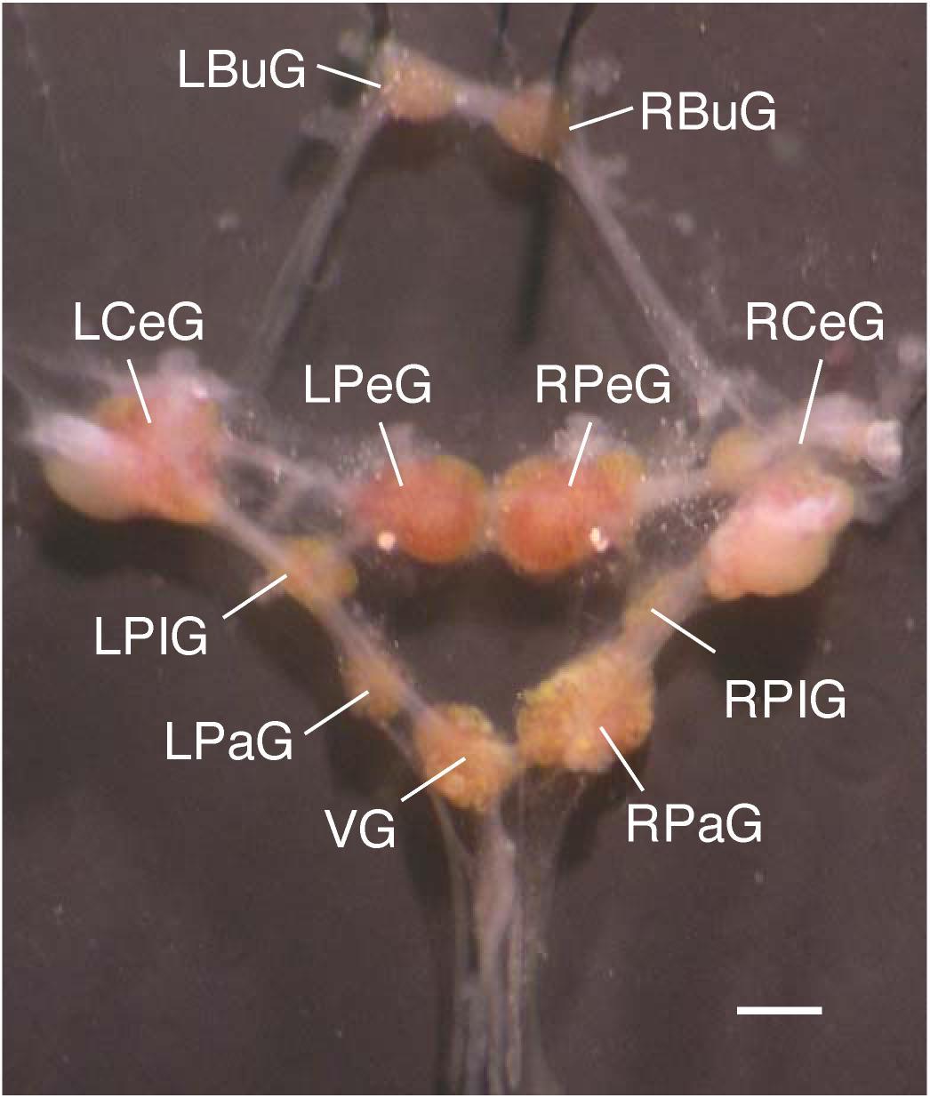 Gastropoda Nervous System