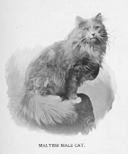 File:Malteserkatze.Angorakatze.1898.jpg