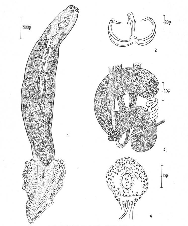 opisthaptor platyhelminthes pióca, mint a paraziták