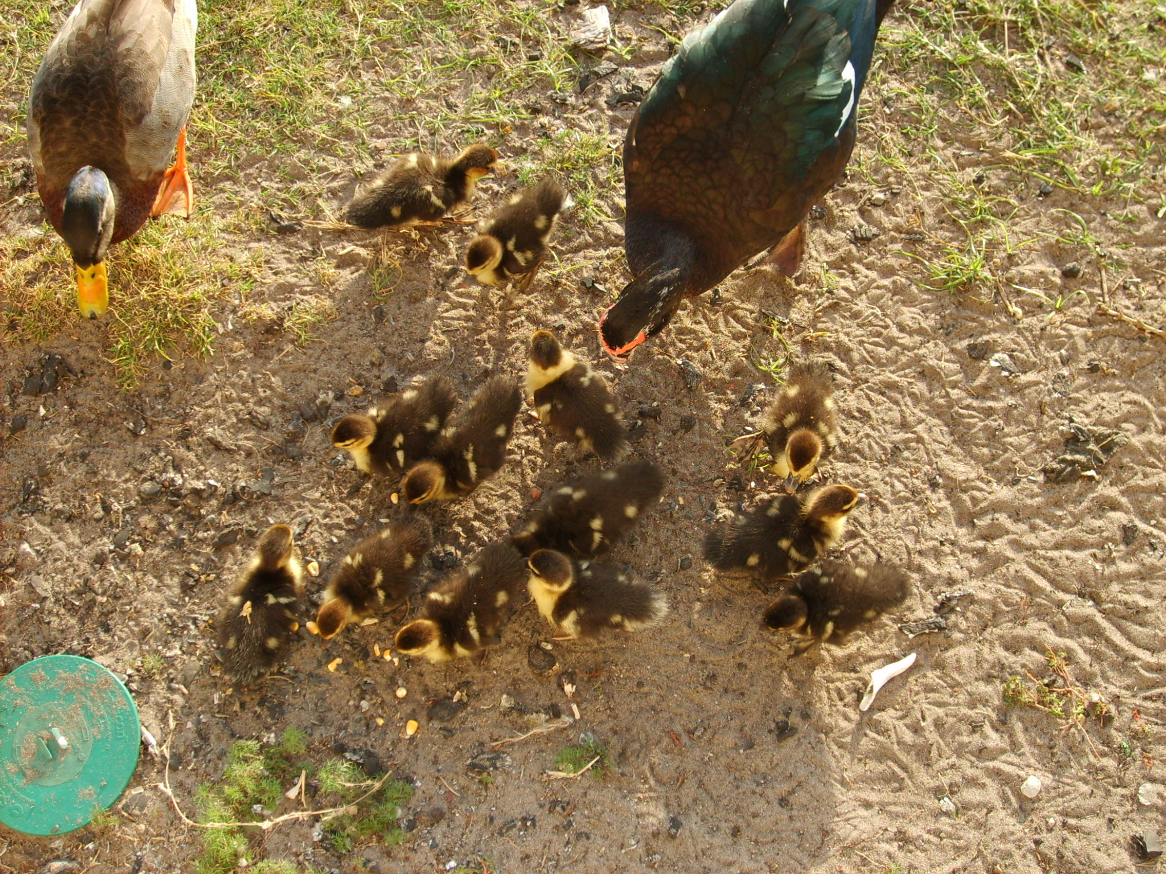 File:Mother Muscovy duck.jpg - Wikipedia, the free encyclopedia