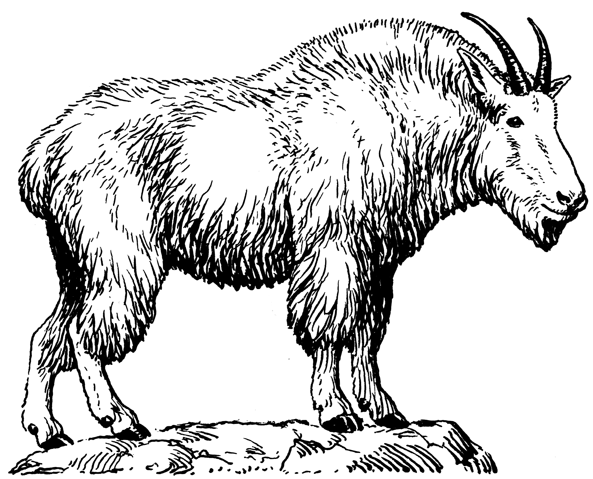 Line Drawing Goat : File mountain goat psf wikimedia commons