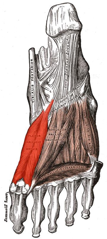 Muscle court fléchisseur de l'hallux
