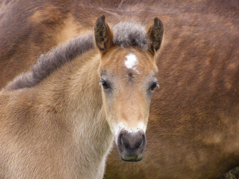 NF pony foal head.jpg