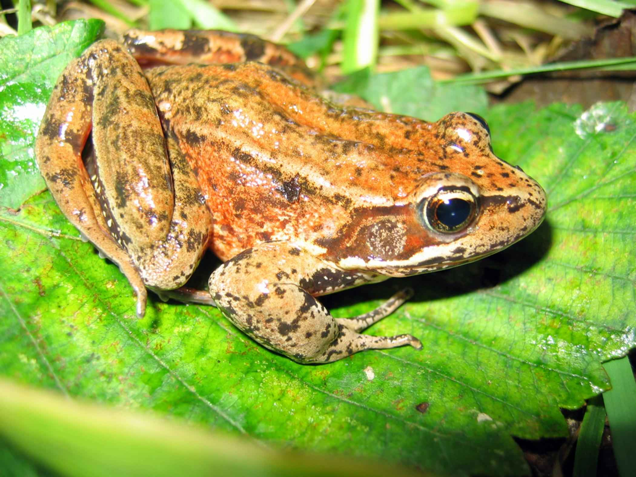 dateinorthern red legged frog rana aurora amphibiajpg