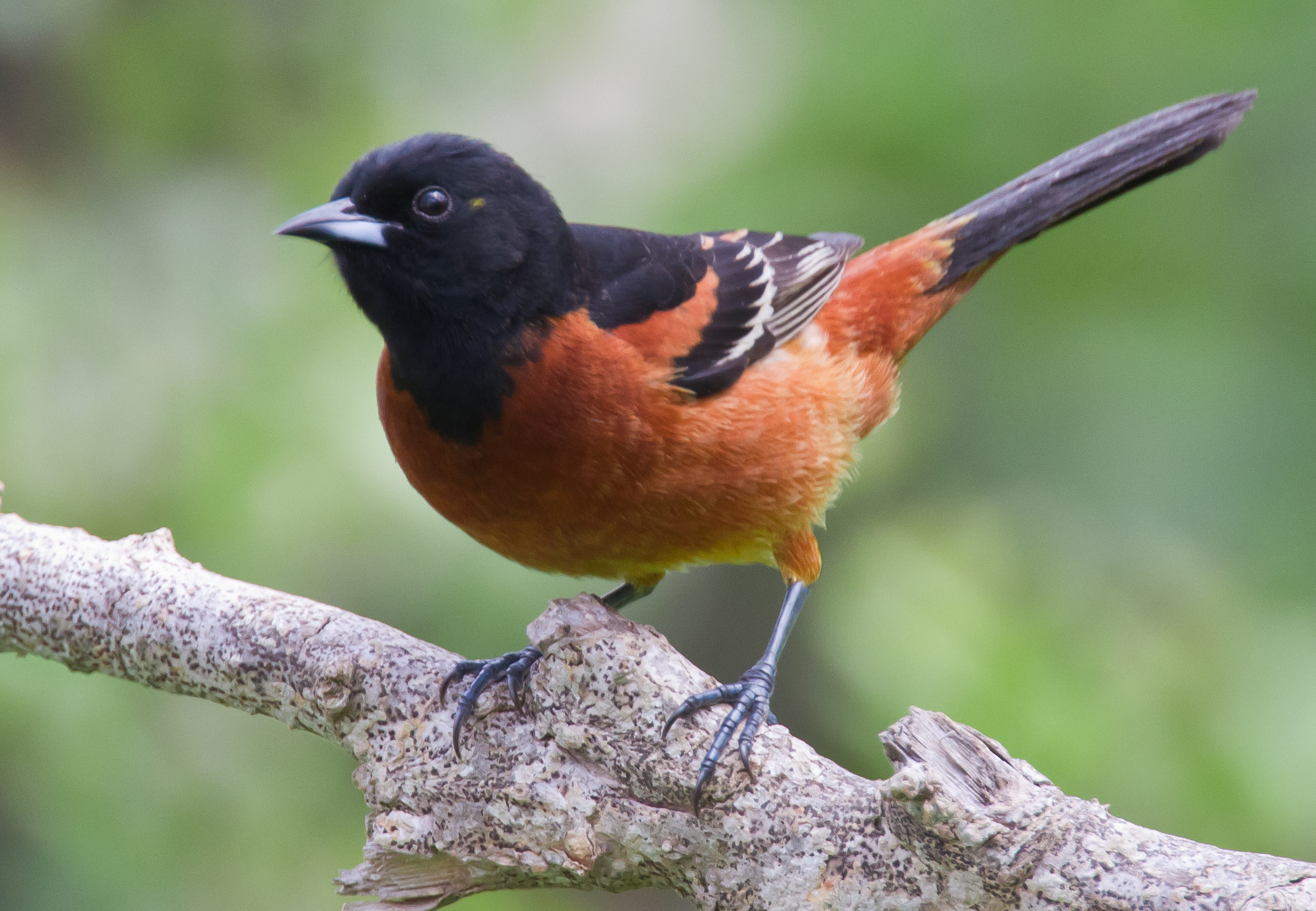 Orchard orioles are one of the species that could become extinct.