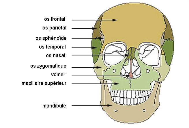 os de la face massif facial