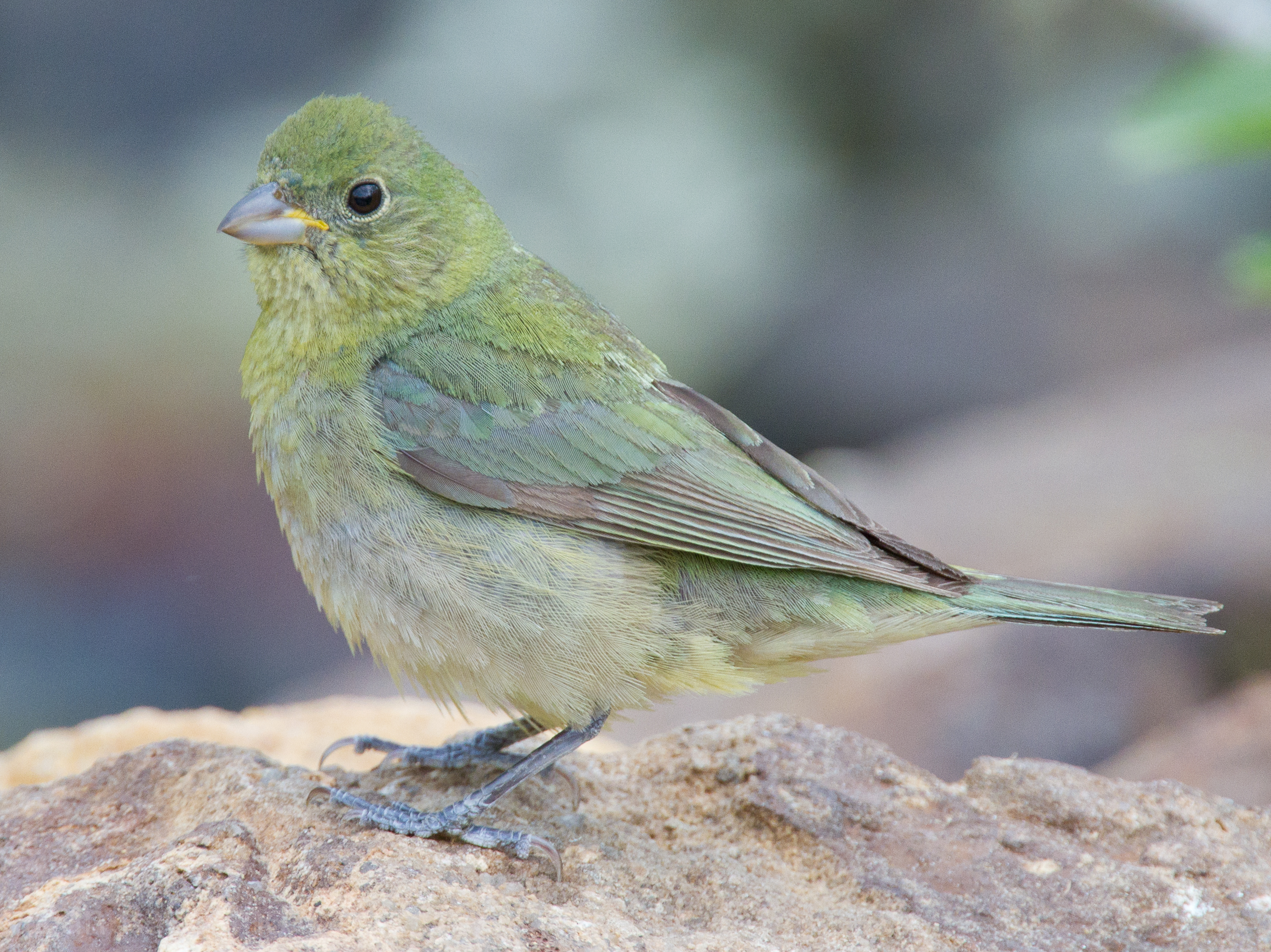 Juvenile painted bunting - photo#26