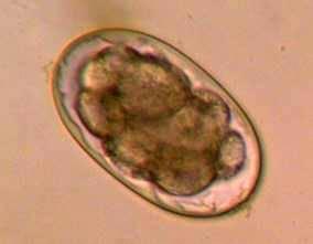 Ancylostomatidae | definition of Ancylostomatidae by ...