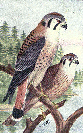 File:Reed-sparrow-hawk.png
