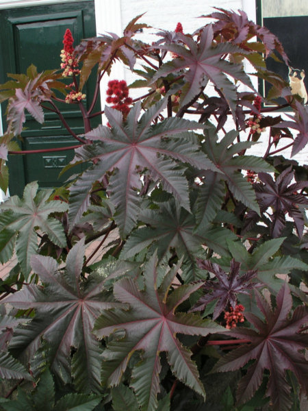 File:Ricinus comm leaves.jpg