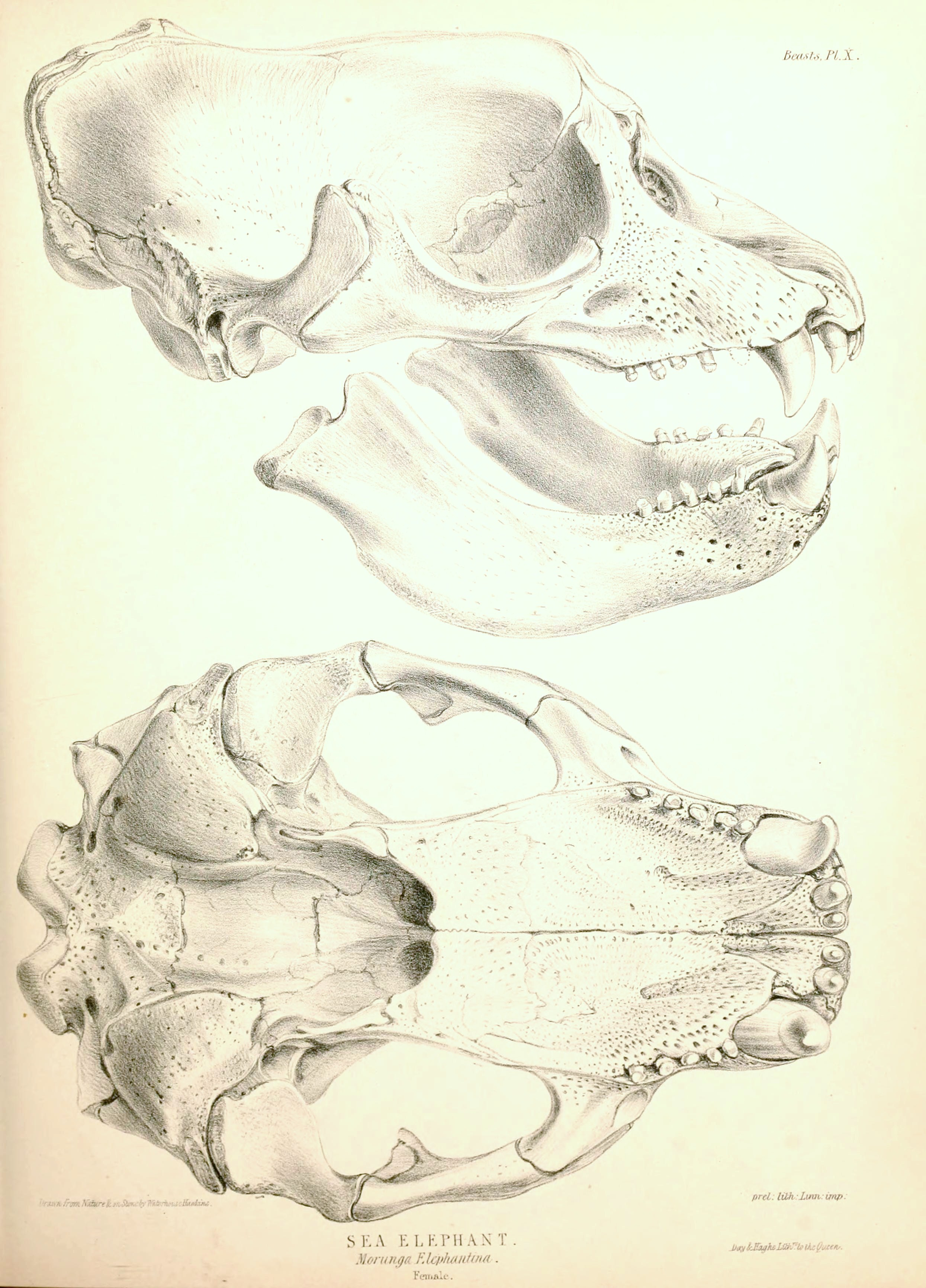 File:Southern Elephant Seal skull 1844.jpg - Wikimedia Commons