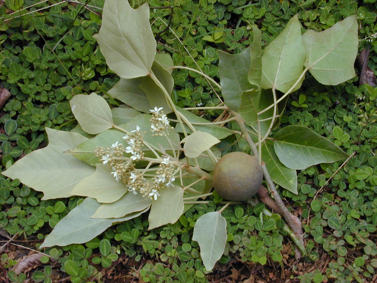 Aleurites moluccanus - Wikipedia