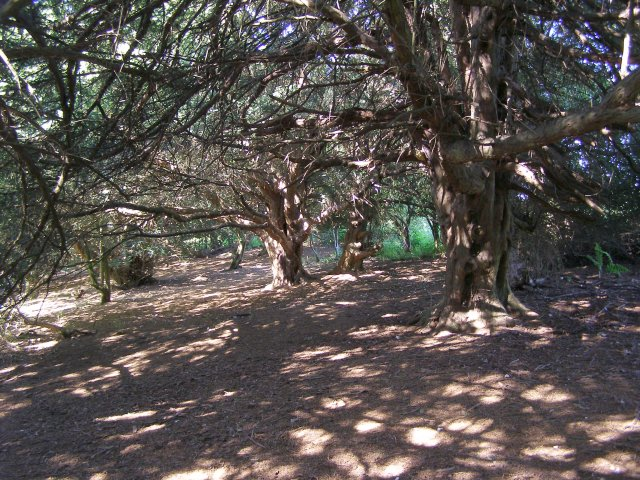 Sun-dappled yew woodland on Old Winchester Hill - geograph.org.uk - 189816