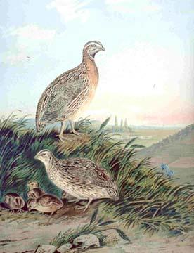 Wachteln (Coturnix coturnix) (auf dem Hügel: männlich; beim Nest: weiblich)