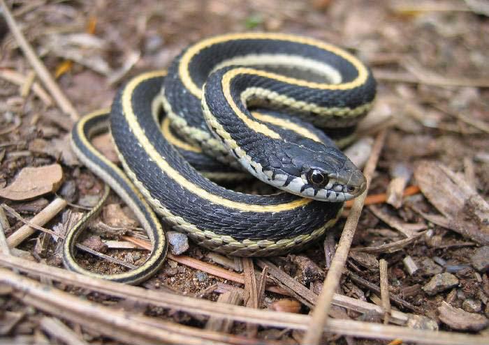 Western terrestrial garter snake juvie