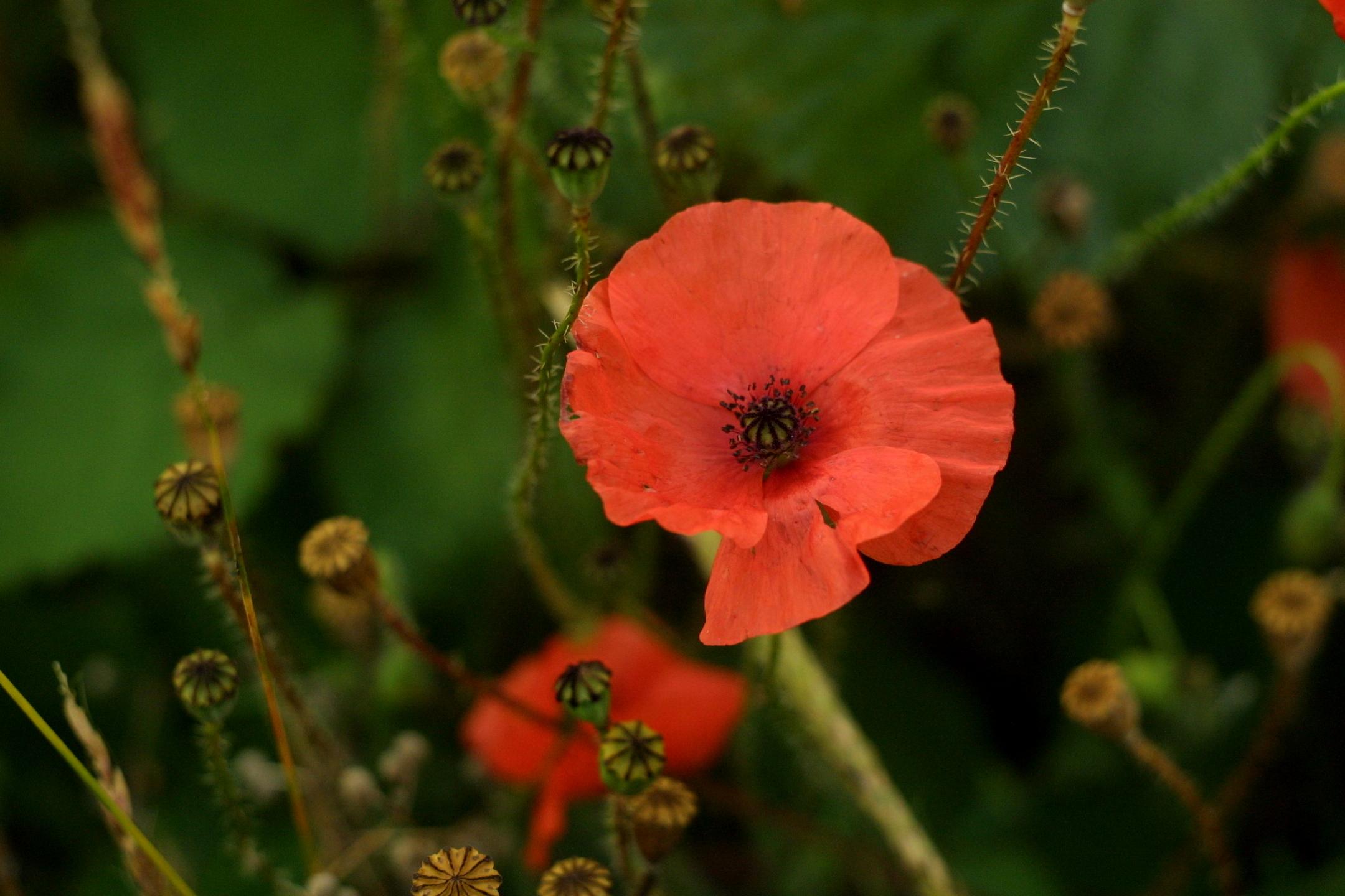 wild poppy flowers on - photo #7