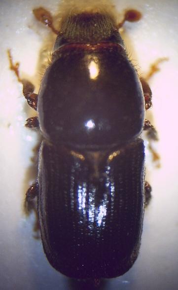 Podkôrnik brezový (lat. Scolytus ratzeburgi)