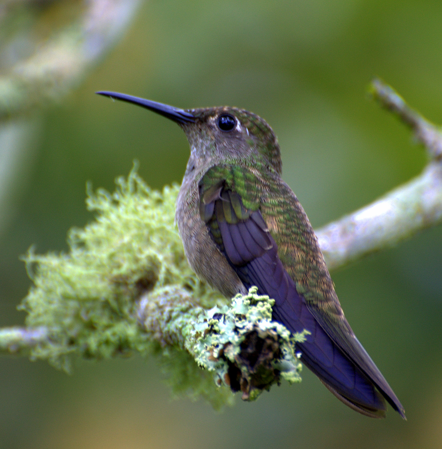 Hummingbird Food Recipe Sugar Water